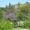 Jacarandas: Valencia's Purple Haze
